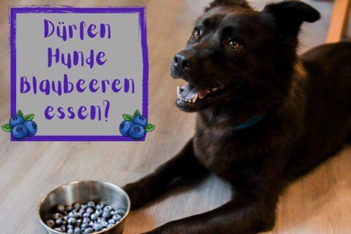 Dürfen Hunde Blaubeeren essen? Titelbild