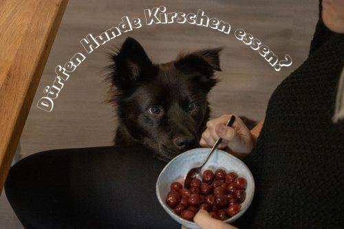 Dürfen Hunde Kirschen essen? Titelbild