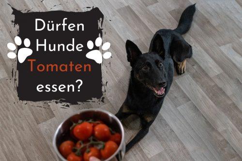 Dürfen Hunde Tomaten essen? Titelbild