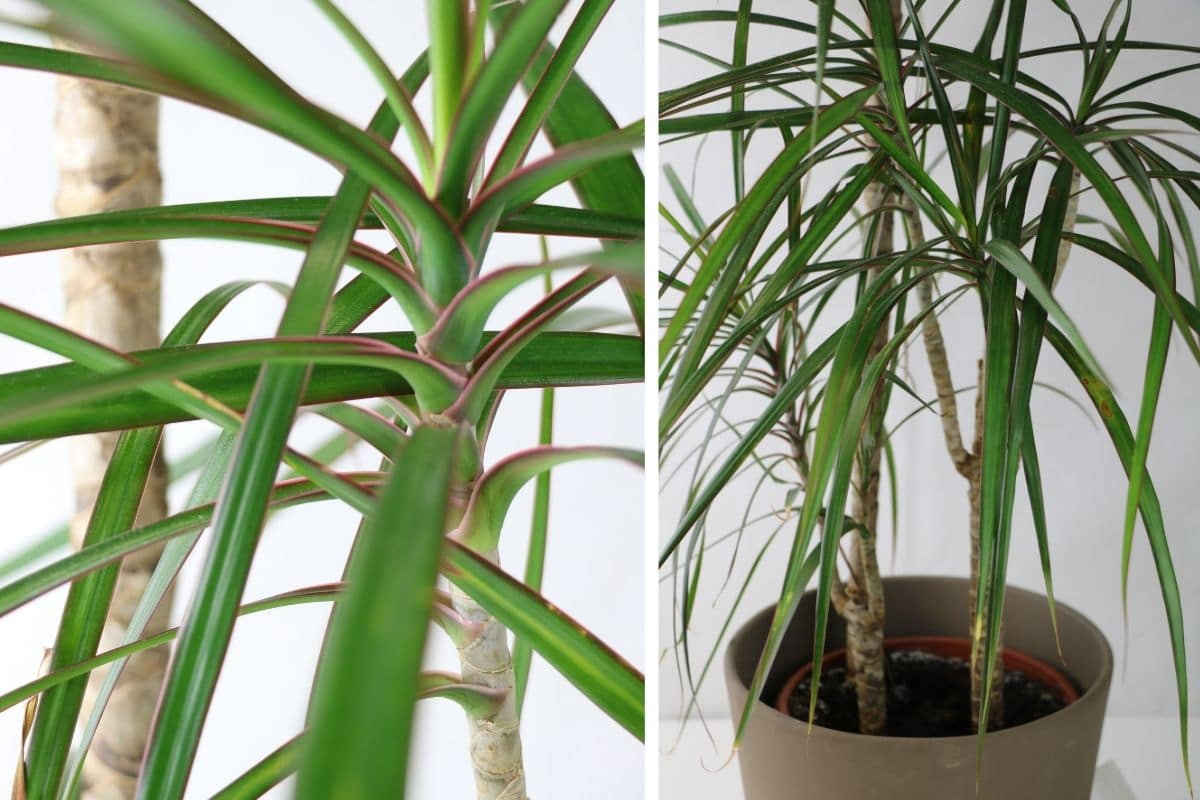 giftige Zimmerpflanzen: Gerandete Drachenbaum (Dracaena marginata)