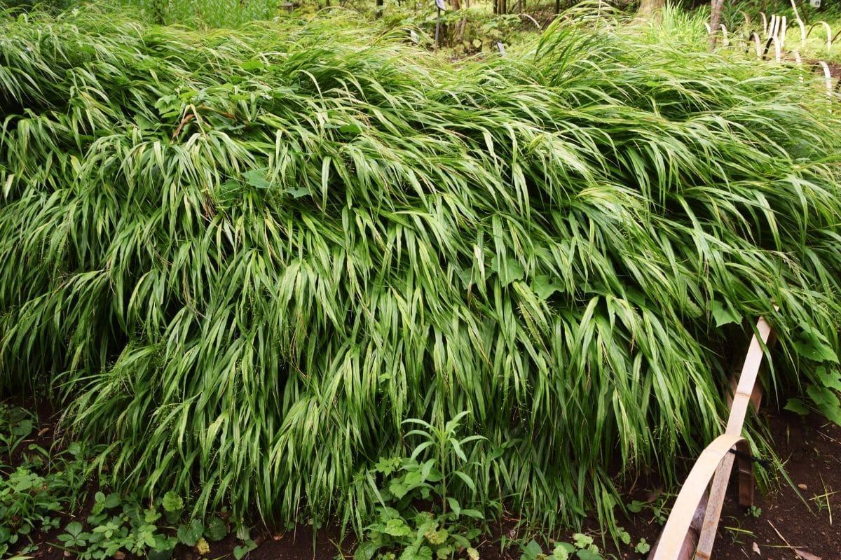 Japanwaldgras (Hakonechloa macra)