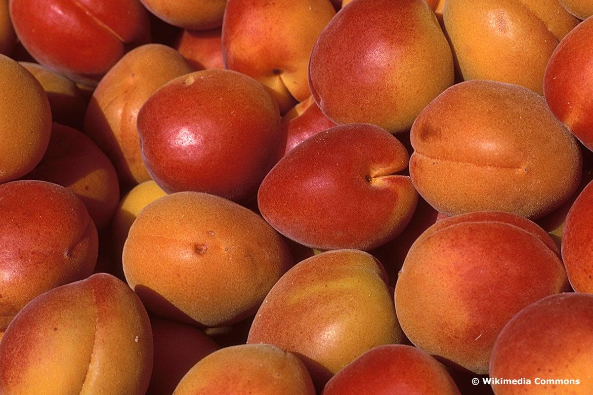 "Orangered (Prunus armeniaca ""Orangered"")"