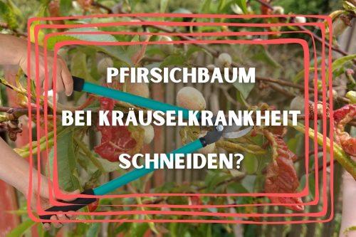 Pfirsichbaum schneiden bei Kräuselkrankheit? Titelbild