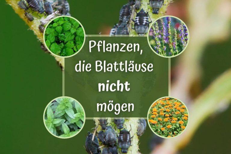 16 Pflanzen, die Blattläuse nicht mögen - Titelbild