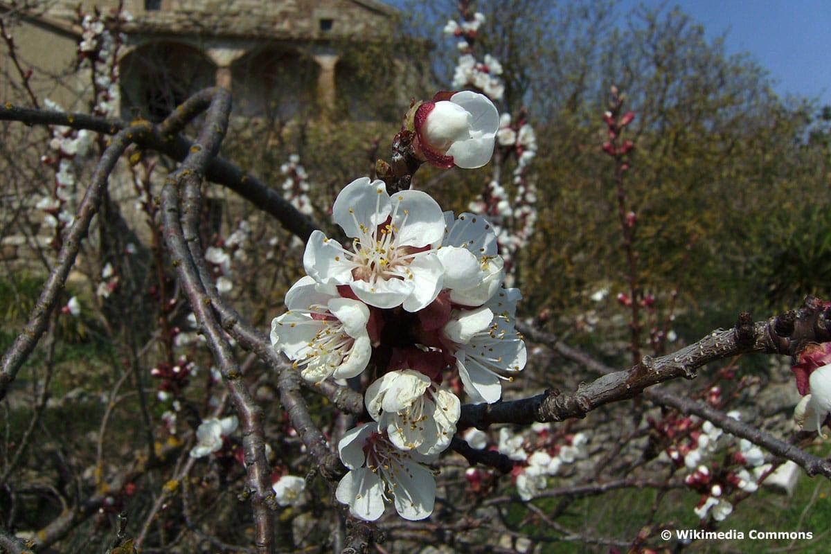 """Prunus armeniaca """"Luizet"""""""