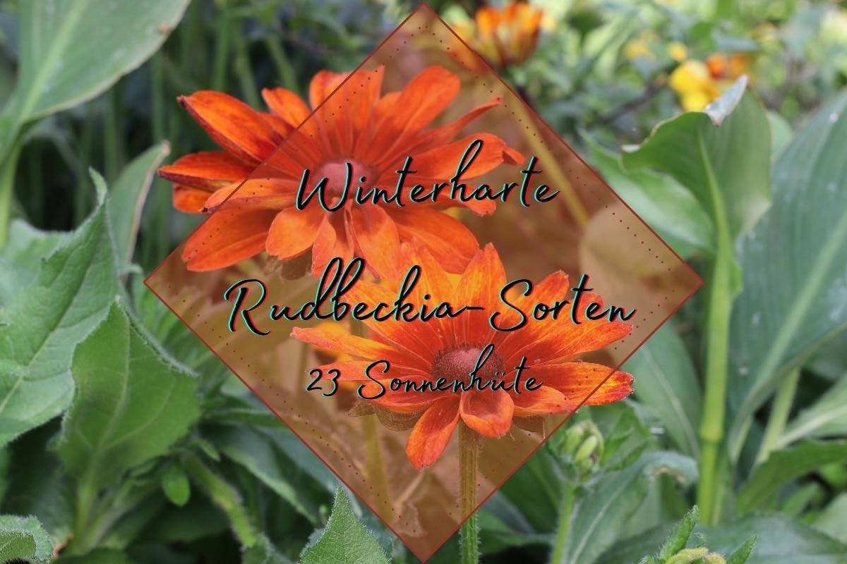 Rudbeckia: 23 winterharte Sorten von A-Z - Titelbild