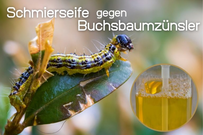 Schmierseife gegen Buchsbaumzünsler - Titelbild