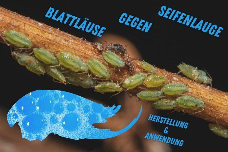 Seifenlauge gegen Blattläuse herstellen und anwenden - Titelbild