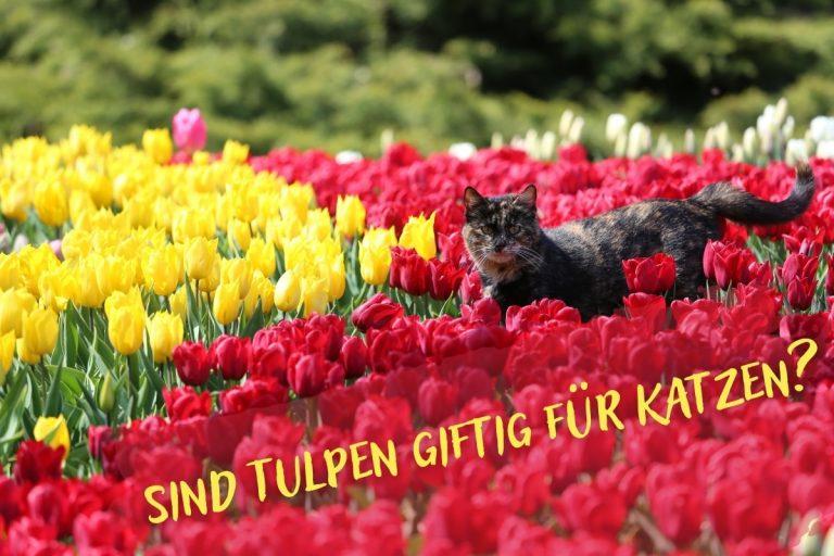 sind Tulpen giftig für Katzen? - Titelbild