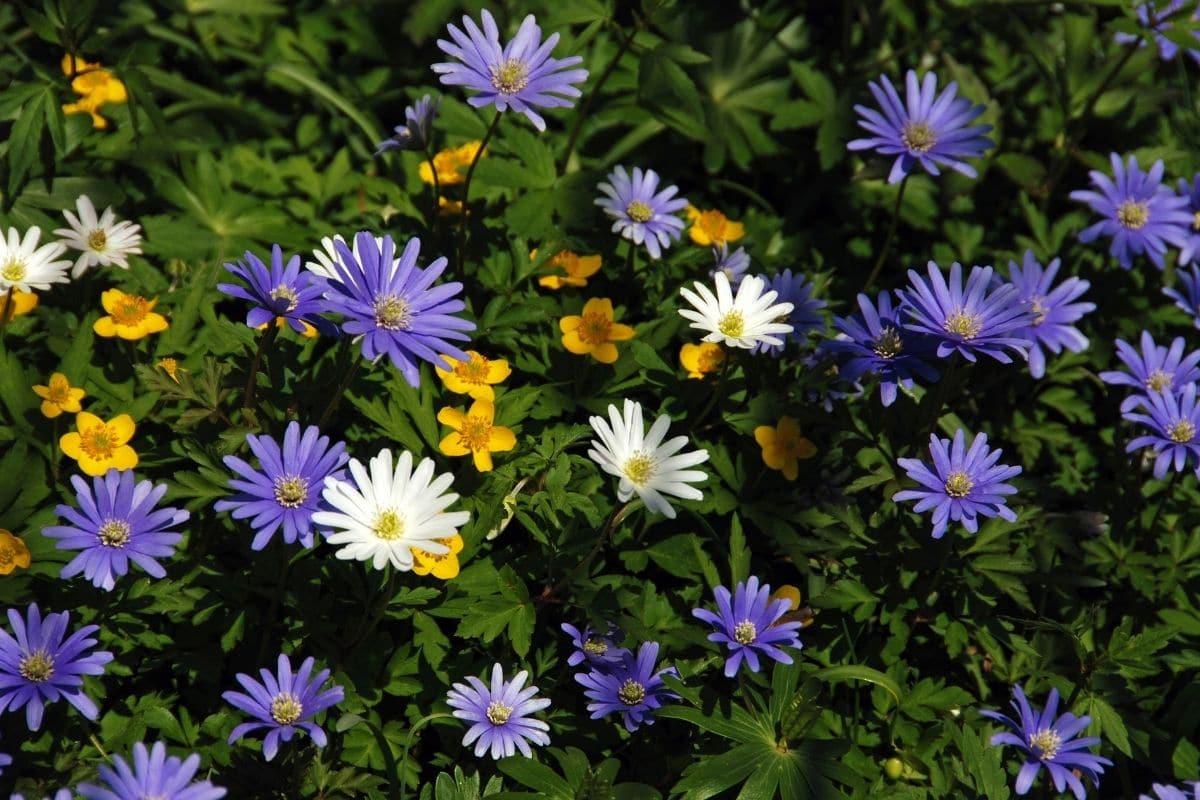 Strahlen-Anemone (Anemone blanda)