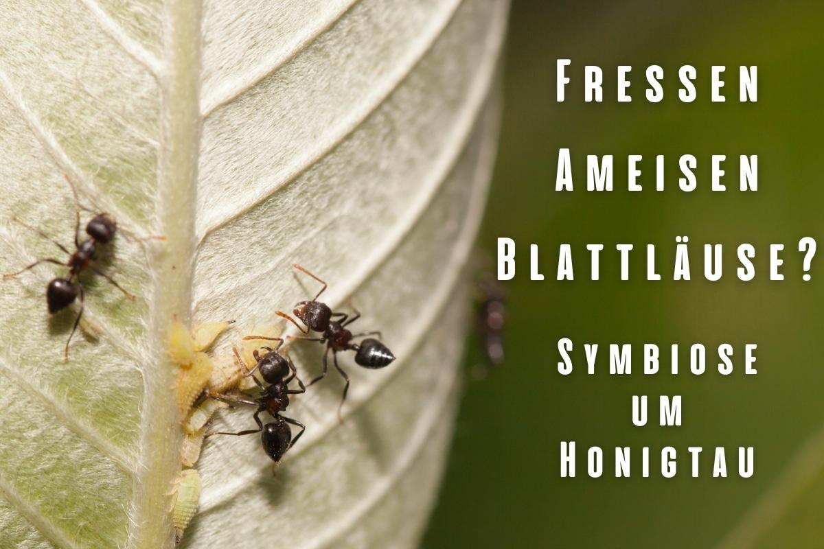 Fressen Ameisen Blattläuse? | Symbiose um Honigtau - Titelbild
