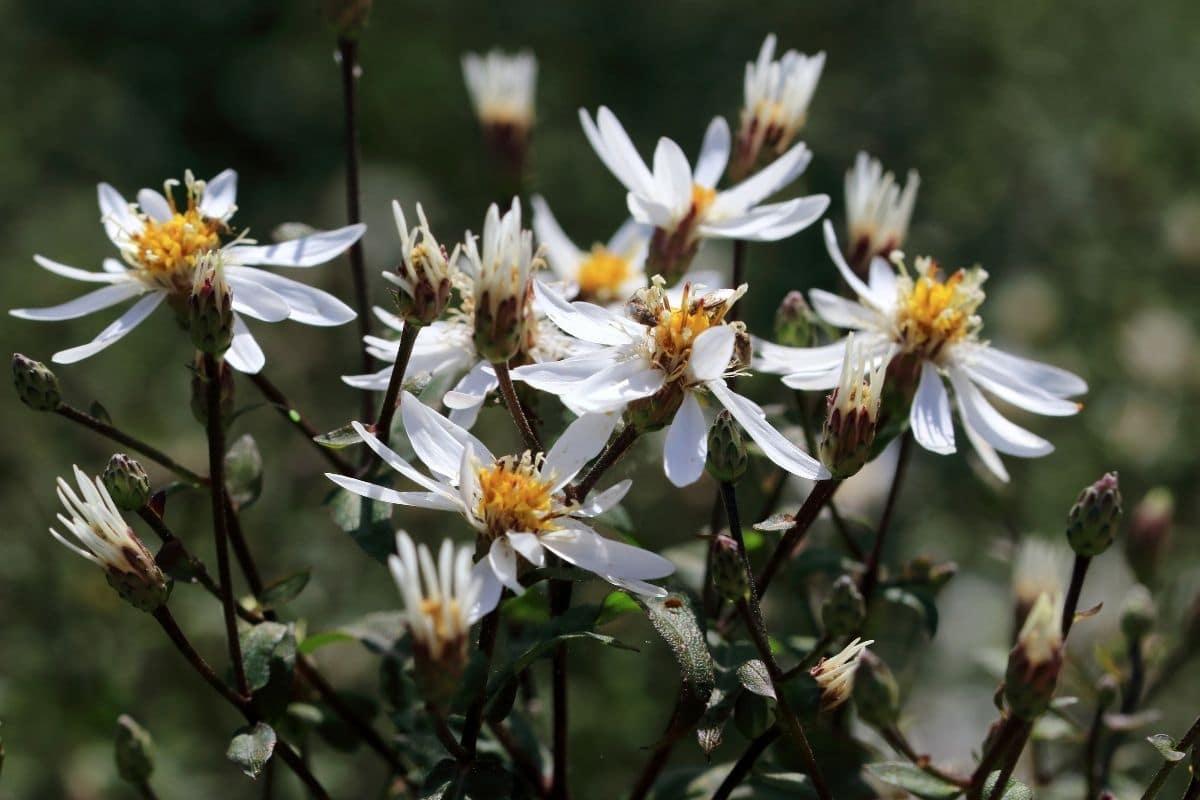 Wald-Aster (Aster divaricatus)