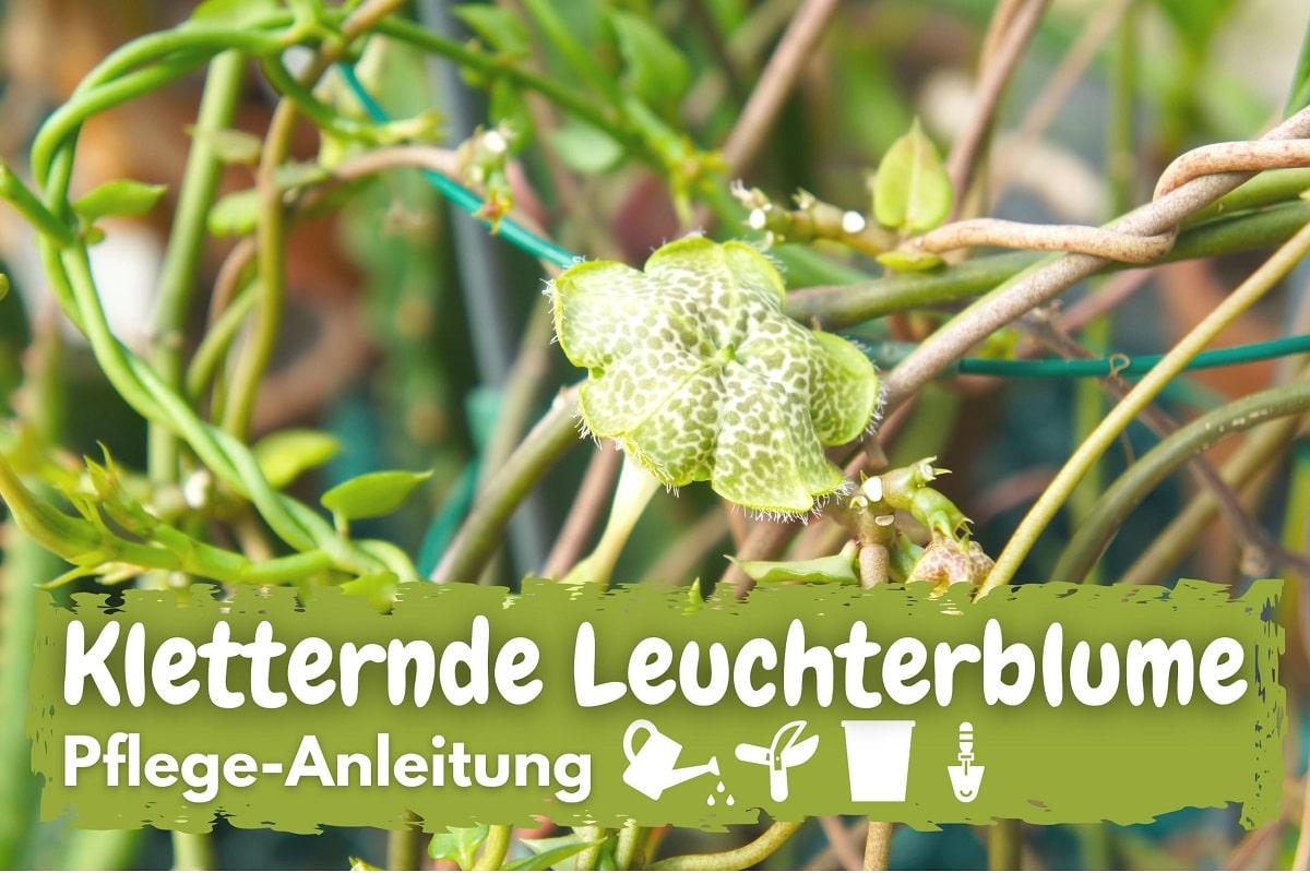 Kletternde Leuchterblume (Ceropegia sandersonii)
