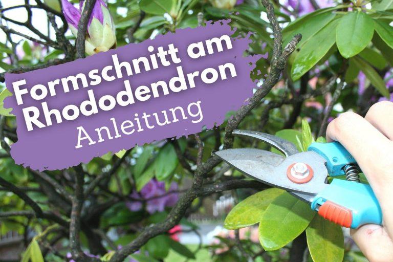 Formschnitt am Rhododendron