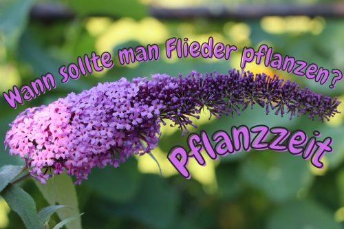 Pflanzzeit: wann sollte man Flieder pflanzen? Titelbild